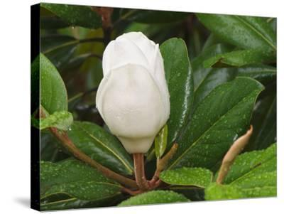 Saucer Magnolia-Adam Jones-Stretched Canvas Print