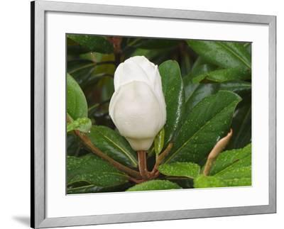 Saucer Magnolia-Adam Jones-Framed Photographic Print