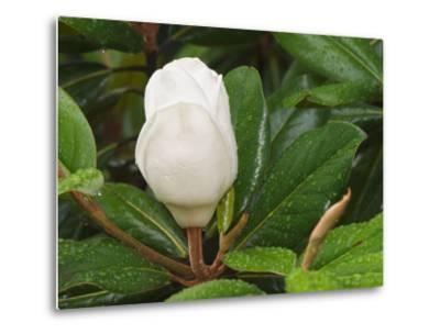Saucer Magnolia-Adam Jones-Metal Print