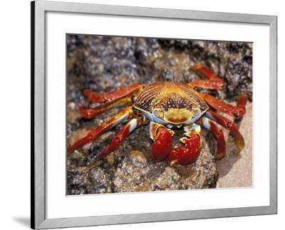 Sally Lightfoot Crab on the Galapagos Islands, Ecuador-Stuart Westmoreland-Framed Photographic Print