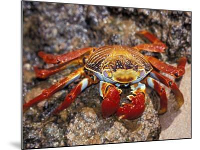 Sally Lightfoot Crab on the Galapagos Islands, Ecuador-Stuart Westmoreland-Mounted Photographic Print