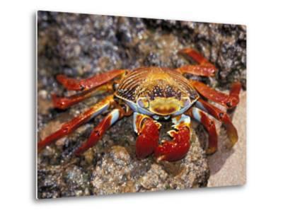 Sally Lightfoot Crab on the Galapagos Islands, Ecuador-Stuart Westmoreland-Metal Print