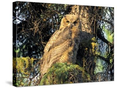 Immature Great Horned Owl in a Spruce Tree, Fairbanks, Alaska, USA-Hugh Rose-Stretched Canvas Print