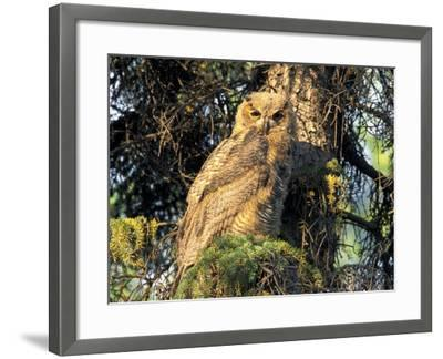 Immature Great Horned Owl in a Spruce Tree, Fairbanks, Alaska, USA-Hugh Rose-Framed Photographic Print