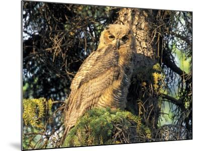 Immature Great Horned Owl in a Spruce Tree, Fairbanks, Alaska, USA-Hugh Rose-Mounted Photographic Print