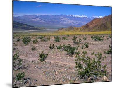 Desert Gold Wildflowers and Black Mountains, Death Valley National Park, California, USA-Jamie & Judy Wild-Mounted Photographic Print