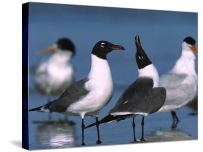 Laughing Gull Courtship Display, Florida, USA-Charles Sleicher-Stretched Canvas Print
