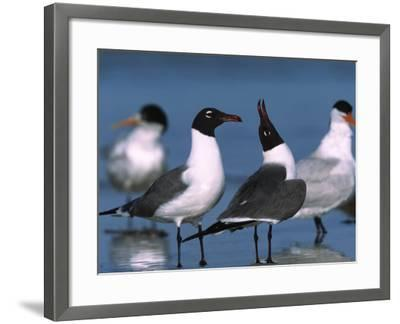 Laughing Gull Courtship Display, Florida, USA-Charles Sleicher-Framed Photographic Print