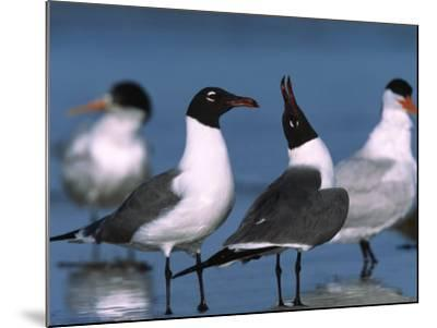 Laughing Gull Courtship Display, Florida, USA-Charles Sleicher-Mounted Photographic Print