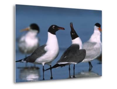 Laughing Gull Courtship Display, Florida, USA-Charles Sleicher-Metal Print