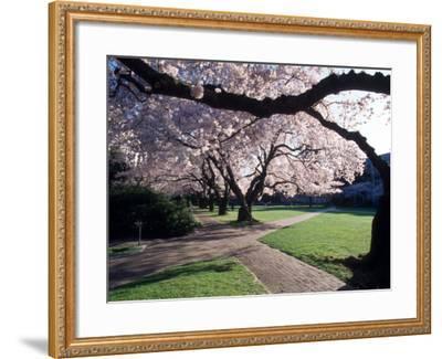 Cherry Blooms at the University of Washington, Seattle, Washington, USA-William Sutton-Framed Photographic Print