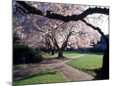 Cherry Blooms at the University of Washington, Seattle, Washington, USA-William Sutton-Mounted Photographic Print