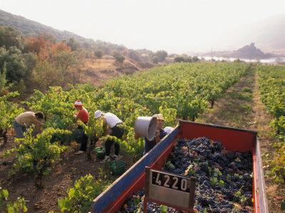 Picking Grapes, Languedoc, France-Nik Wheeler-Framed Photographic Print