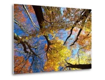 Forest Canopy in Autumn, Jasmund National Park, Island of Ruegen, Germany-Christian Ziegler-Metal Print