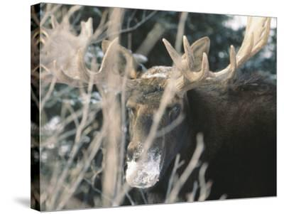Moose--Stretched Canvas Print