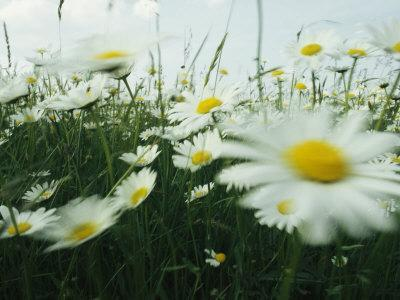 Field Filled with Daisies in Bloom Swaying in a Breeze-Klaus Nigge-Framed Photographic Print