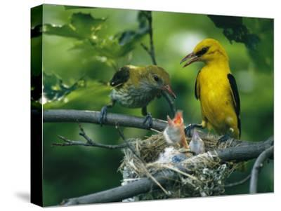 Golden Orioles Feeding Their Nest of Hungry Chicks-Klaus Nigge-Stretched Canvas Print