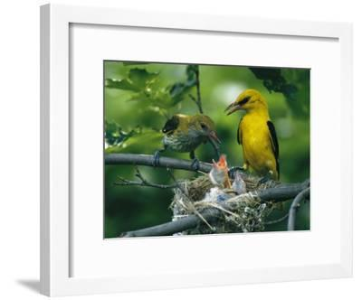 Golden Orioles Feeding Their Nest of Hungry Chicks-Klaus Nigge-Framed Photographic Print