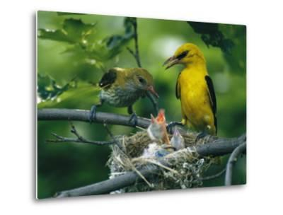 Golden Orioles Feeding Their Nest of Hungry Chicks-Klaus Nigge-Metal Print