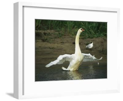 Mute Swan Flapping its Wings While Standing in Water-Klaus Nigge-Framed Photographic Print