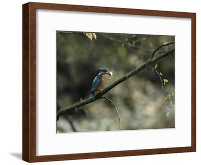 River Kingfisher Sitting on a Tree Branch with a Fish in its Bill-Klaus Nigge-Framed Photographic Print