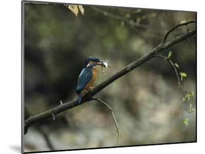 River Kingfisher Sitting on a Tree Branch with a Fish in its Bill-Klaus Nigge-Mounted Photographic Print