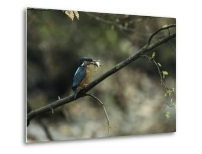 River Kingfisher Sitting on a Tree Branch with a Fish in its Bill-Klaus Nigge-Metal Print