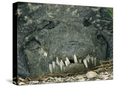 Close View of the Teeth of an American Crocodile-Klaus Nigge-Stretched Canvas Print