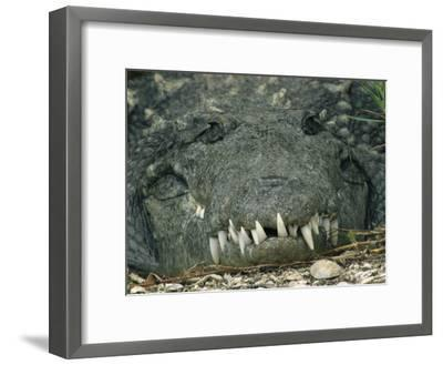 Close View of the Teeth of an American Crocodile-Klaus Nigge-Framed Photographic Print