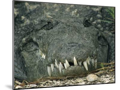 Close View of the Teeth of an American Crocodile-Klaus Nigge-Mounted Photographic Print