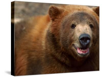 Close-up of Brown Bear-Elizabeth DeLaney-Stretched Canvas Print