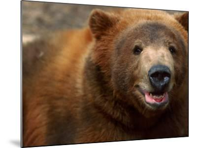Close-up of Brown Bear-Elizabeth DeLaney-Mounted Photographic Print