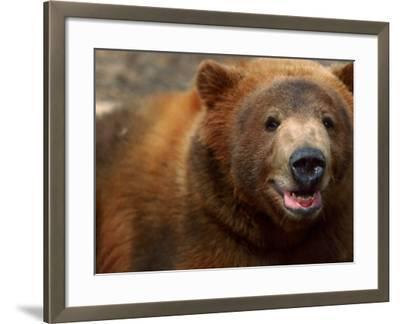 Close-up of Brown Bear-Elizabeth DeLaney-Framed Photographic Print