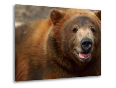Close-up of Brown Bear-Elizabeth DeLaney-Metal Print