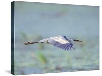 Great Blue Heron, Great Meadows Wf, MA-Harold Wilion-Stretched Canvas Print