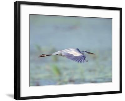 Great Blue Heron, Great Meadows Wf, MA-Harold Wilion-Framed Photographic Print