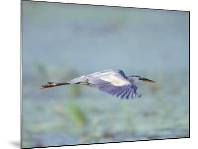 Great Blue Heron, Great Meadows Wf, MA-Harold Wilion-Mounted Photographic Print