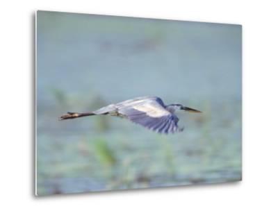 Great Blue Heron, Great Meadows Wf, MA-Harold Wilion-Metal Print