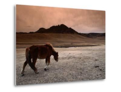 The Wild Horse of Mongolia-Olivier Cirendini-Metal Print