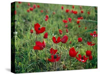 Wild Poppies Growing in a Turkish Field-Tim Laman-Stretched Canvas Print