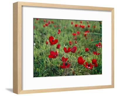 Wild Poppies Growing in a Turkish Field-Tim Laman-Framed Photographic Print
