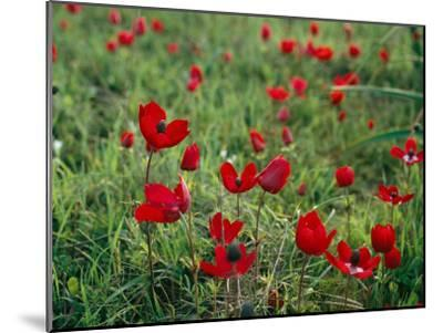 Wild Poppies Growing in a Turkish Field-Tim Laman-Mounted Photographic Print