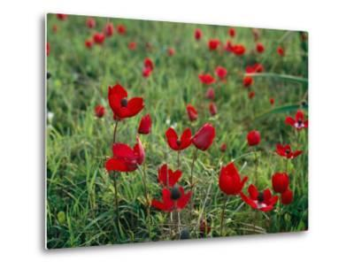 Wild Poppies Growing in a Turkish Field-Tim Laman-Metal Print