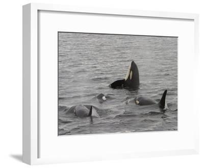 A Killer Whale Pod in Johnstone Strait-Ralph Lee Hopkins-Framed Photographic Print