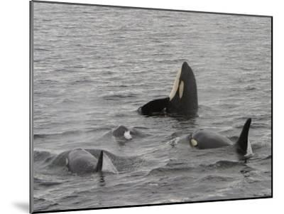 A Killer Whale Pod in Johnstone Strait-Ralph Lee Hopkins-Mounted Photographic Print