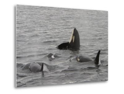 A Killer Whale Pod in Johnstone Strait-Ralph Lee Hopkins-Metal Print