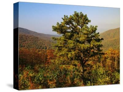 Pine Tree and Forested Ridges of the Blue Ridge Mountains-Raymond Gehman-Stretched Canvas Print