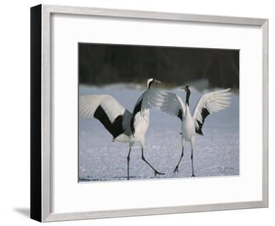 A Pair of Japanese or Red Crowned Cranes Engage in a Courtship Dance-Tim Laman-Framed Photographic Print