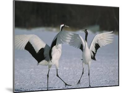 A Pair of Japanese or Red Crowned Cranes Engage in a Courtship Dance-Tim Laman-Mounted Photographic Print