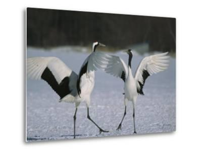 A Pair of Japanese or Red Crowned Cranes Engage in a Courtship Dance-Tim Laman-Metal Print
